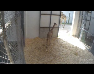 virginia zoo animal cam giraffe baby