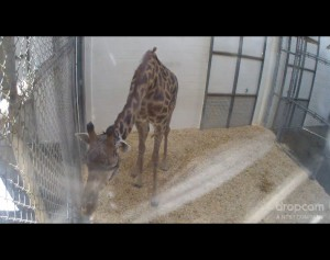 virginia zoo animal cam giraffe