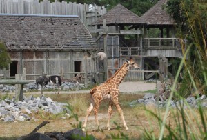 Virginia Zoo's baby giraffe exploring the Okavango Delta exhibit.  (Photo courtesy: Virginia Zoo)