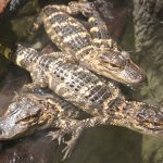 Baby Gators Get a load of the names of the newest members of the North Carolina Aquarium
