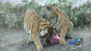 Happy Birthday The Virginia Zoo celebrated the first birthday of their endangered tiger cubs.